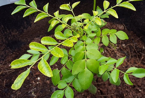 curry-leaf-plant - useful medicinal plants