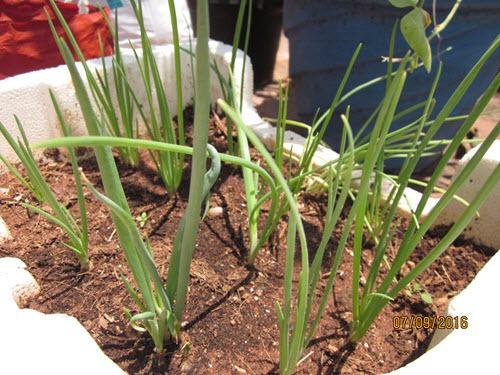 onion leeks