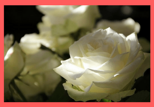 Beginners Tips for Growing Roses in Containers - MOG