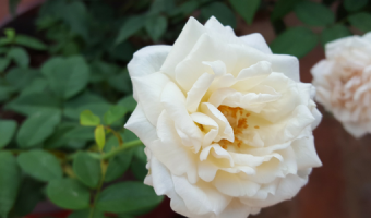 Beginners Tips for Growing Roses in Containers - MOGFI