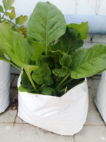 Best Vegetables to Grow in January in India - Spinach