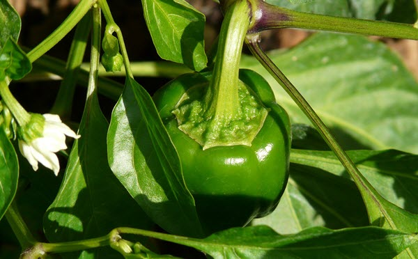 How to Grow Capsicum in Containers