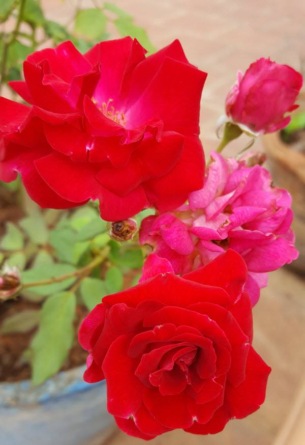 kashmir roses in bloom