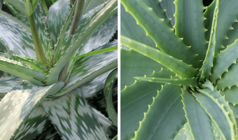 How to Grow Aloe Vera and Reap its Medicinal Benefits - MOG
