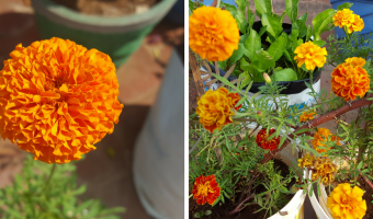 How to Grow Marigold in Containers - MOG