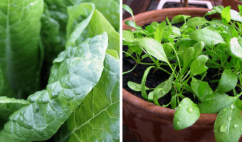 How to Grow Spinach in Containers - MOG