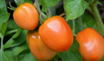 Growing tomatoes in containers - MOGFI