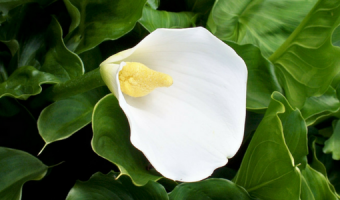 How to Grow Arum Lily or Calla Lily Plants in Containers - MOGFI