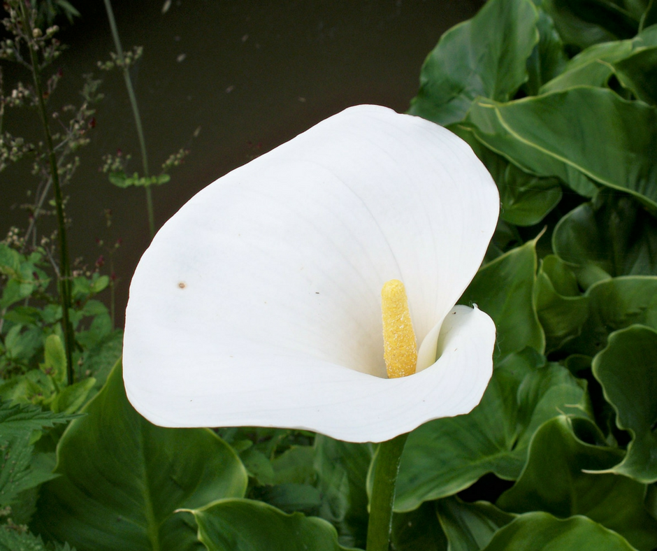 How to Grow Arum Lily or Calla Lily Plants in Containers - MyOrganic Garden