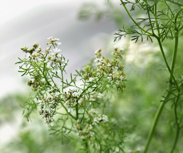 How to Grow Cilantro or Coriander in Containers