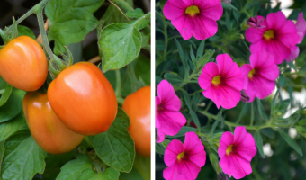 Best Companion Plants for Capsicum or Peppers - MOGFI (1)