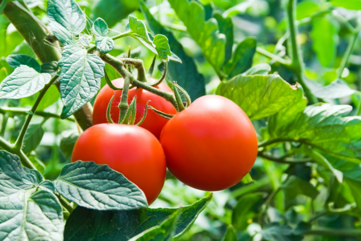 Mistakes in Growing Tomatoes - MOGFI